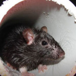 rat drug study - what causes drug addiction